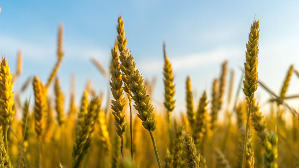 Në Kosovë përgjysmohet sipërfaqja e tokës së mbjellë me grurë