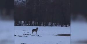 Dragash: Ujqit zbresin në fshat, alarmohen banorët